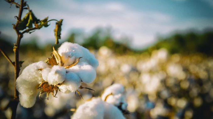 Jak se pěstuje bavlna a jak poznat kvalitní oblečení?